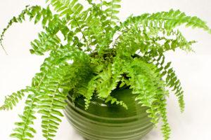 Cách trồng cây dương xỉ và những lợi ích khi trồng cây dương xỉ