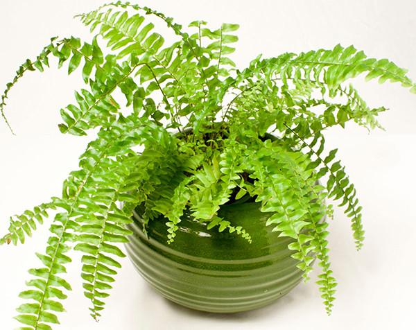 Cách trồng cây dương xỉ