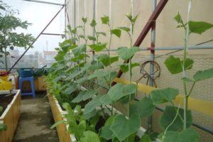 Chia sẻ cách trồng cây dưa leo trong thùng xốp mau ra quả nhất