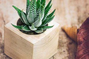 Hướng dẫn cách trồng và chăm sóc cây sen đá móng rồng