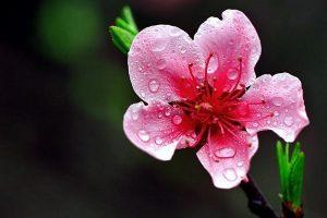 Hoa đào - nguyên liệu làm đẹp tự nhiên giúp bạn có làn da trắng hồng như ao ước