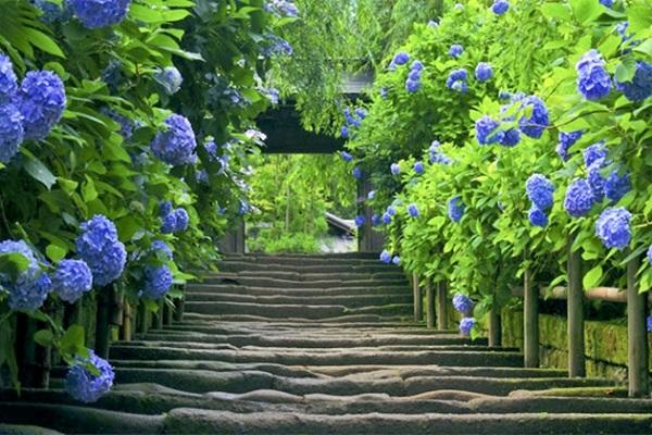 Cách trồng cây cẩm tú cầu và cách cắt tỉa chăm sóc cây