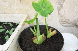 Cách trồng cây dọc mùng và những lưu ý khi trồng