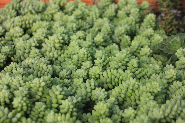 Cách trồng và chăm sóc cây chuỗi ngọc