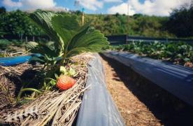 Làm sao để trồng cây dâu tây trong điều kiện khí hậu nắng nóng?