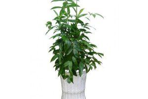 Cách trồng cây Trúc Nhật và những lưu ý khi trồng