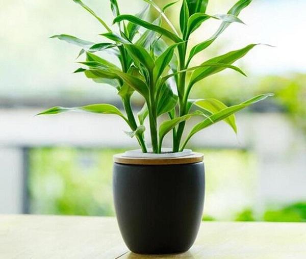 Cách trồng cây Trúc Phú Quý giúp cây tươi tốt, không vàng lá