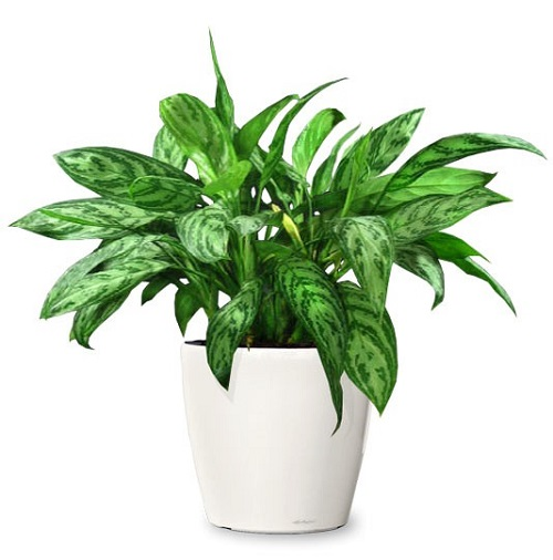 Cây bạch mã hoàng tử có độc không? Những lưu ý khi trồng cây tại nhà