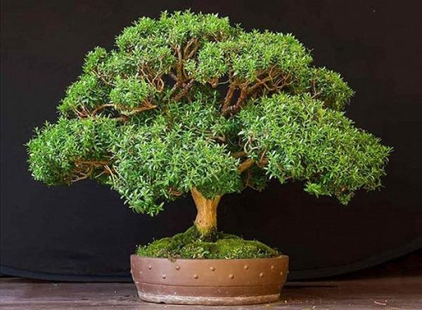 cây hương đào
