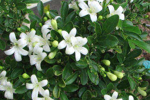 Cây Nguyệt Quế, ý nghĩa phong thủy, cách trồng và chăm sóc