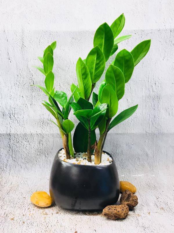 Cây phong thủy trong nhà và những lưu ý khi trồng
