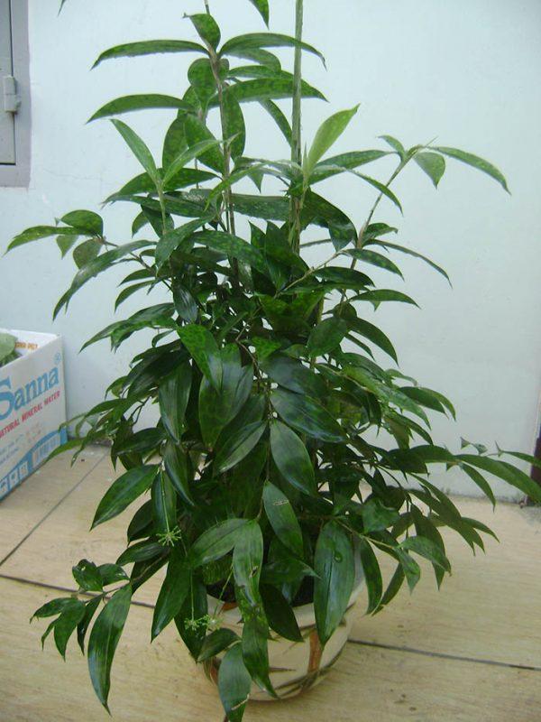 Cây Trúc Nhật hợp mệnh gì? Tại sao cây Trúc Nhật lại được ưa chuộng?