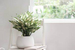 Cây ngọc ngân hợp mệnh gì? Ý nghĩa phong thủy của cây ngọc ngân