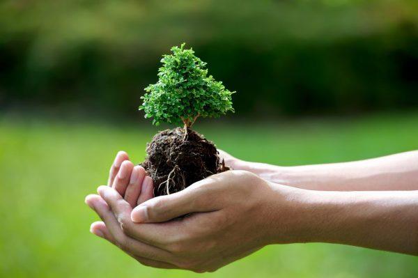 Cây Ngũ gia bì hợp mệnh gì? Công dụng của cây như thế nào?