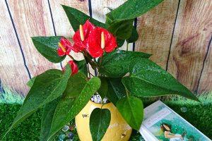 Cây Hồng Môn hợp tuổi nào? Ý nghĩa phong thủy và cách chăm sóc cây