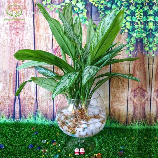 Mệnh Thủy hợp những cây trồng thủy sinh và có lá màu xanh dương như cây Ngân Hậu