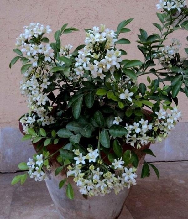 Mẫu cây nguyệt quế trồng chậu