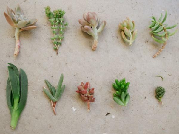Cây sen đá trong phong thủy - cách trồng và nhân giống