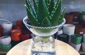 16 Loại cây thủy sinh nên trồng trong nhà