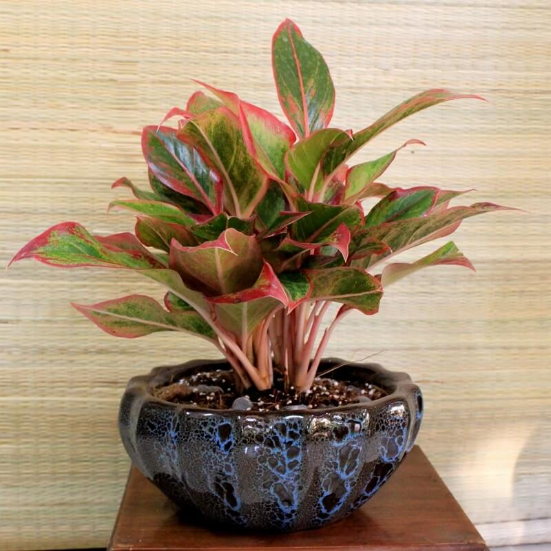 Cây Phú Quý dùng để trang trí và ý nghĩa phong thủy