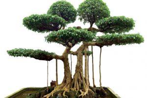 Dùng cây Sanh làm bonsai và ý nghĩa phong thủy