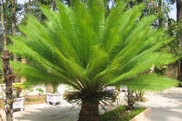 Ý nghĩa phong thủy và tác dụng của cây thiên tuế, vạn tuế
