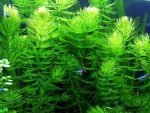 Các loại cây thủy sinh không cần CO2 cho hồ thủy sinh