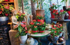 Bật mí cách trồng cây Hồng Môn cực kỳ đơn giản