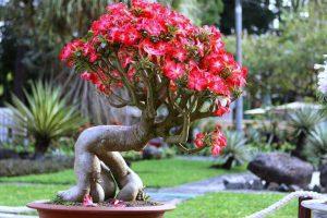 Đặc điểm và cách chăm sóc cây sứ phát triển tốt