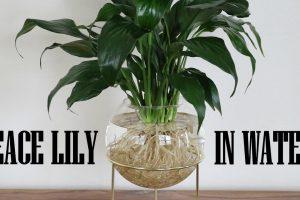 Cách trồng cây Lan Ý thủy sinh đúng kỹ thuật giúp cây xanh tốt quanh năm