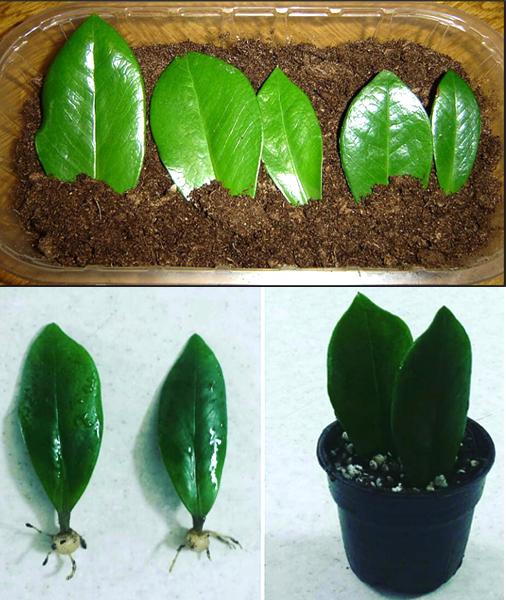 Tất tần tật về cách trồng cây Phát Tài tùy theo từng loại cây