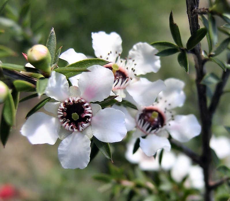 Mật ong Manuka là gì, công dụng và cách dùng như thế nào?