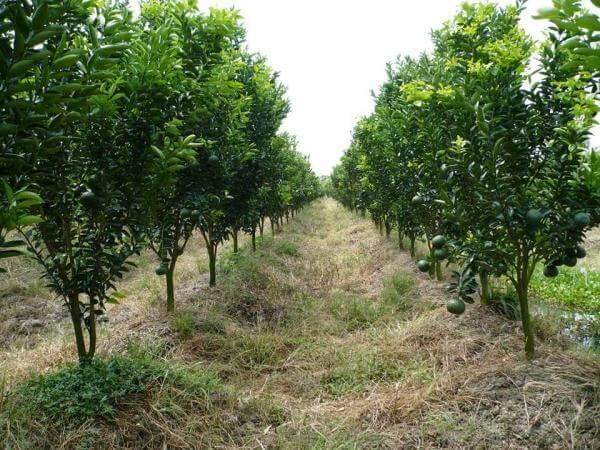 Kỹ thuật trồng cây cam xoàn cho năng suất cao