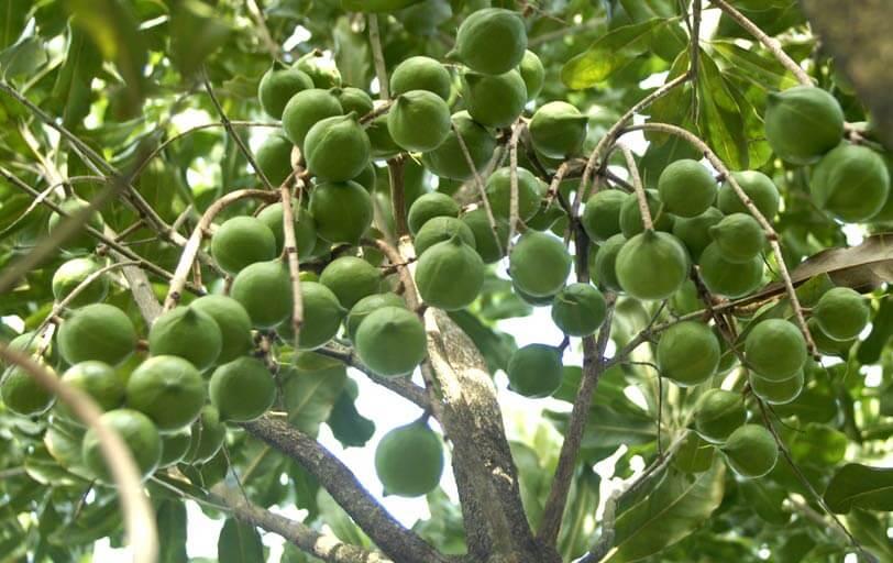 Có nên trồng cây mắc ca để thoát nghèo hay không
