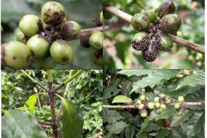 Các bệnh phổ biến trên cây cà phê