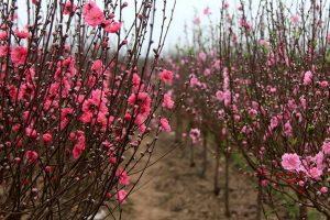 Kỹ thuật chăm sóc giúp cây đào ra hoa đúng dịp tết