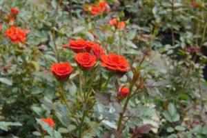 Kỹ thuật chăm sóc hoa hồng cho hoa dịp tết nguyên đán