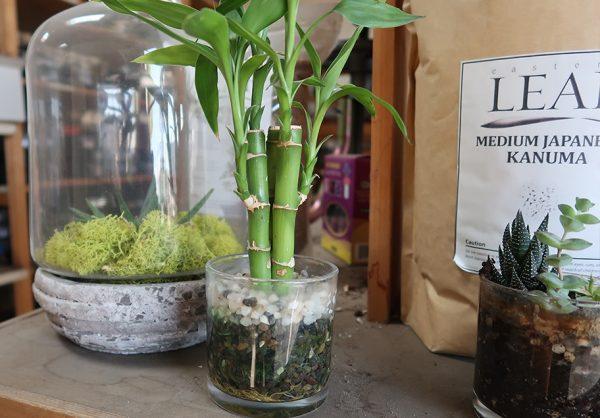 Mách bạn vị trí đặt cây Phát Lộc giúp cây xanh tốt và sinh tài