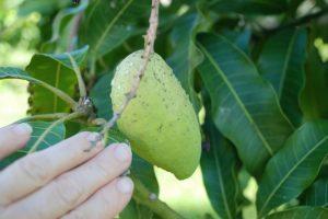Phòng trừ các bệnh phổ biến trên cây xoài