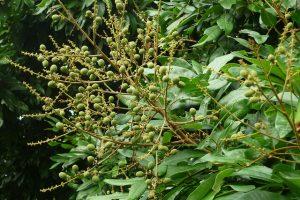 Quy trình chăm sóc cây nhãn sau thu hoạch