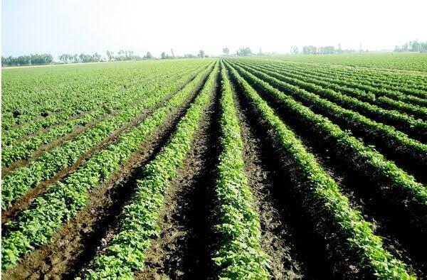Quy trình trồng khoai lang Nhật xuất khẩu