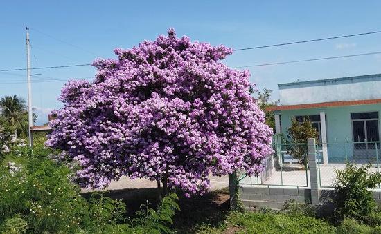 Bằng lăng với những bông hoa tuyệt đẹp làm say lòng bao nhiêu người