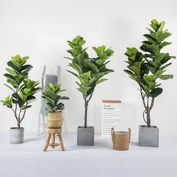 Cây Bàng singapore là một trong những loại cây trồng không cần ánh sáng vẫn phát triển tốt