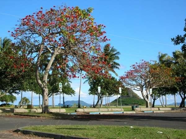 Cây osaka đỏ có tán rộng và cho hoa quanh năm
