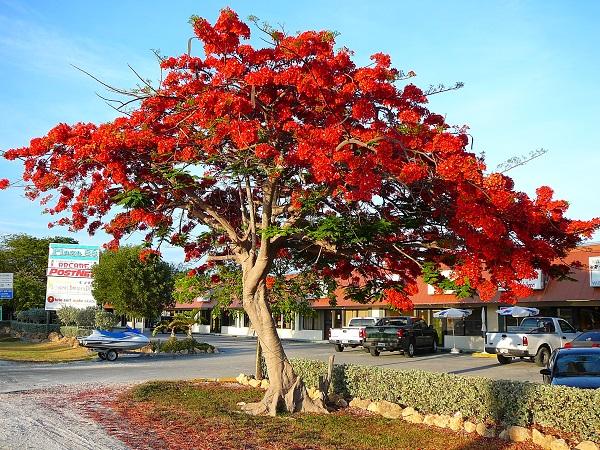 Lá cây toàn là lá phức, lá kép nên độ che phủ rất tốt