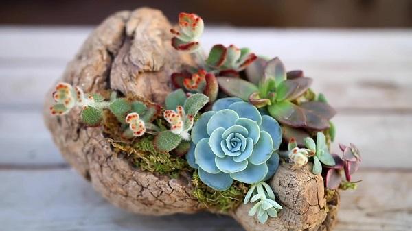 Mặc dù sen đá có sức sống tốt, tuy nhiên để cây luôn khỏe đẹp hãy chú ý chăm sóc nhé