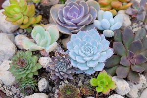 Sen đá là giống cây nhỏ, gần như không có thân, chỉ thấy lá, lá căng mọng nước