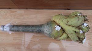 3 Cách chăm sóc cây sứ cảnh tại nhà