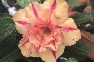 Rực rỡ sắc hoa sứ Thái bonsai