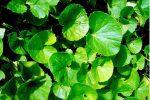 5 Công thức trị mụn bằng rau má vừa tốt, vừa tiết kiệm nhất